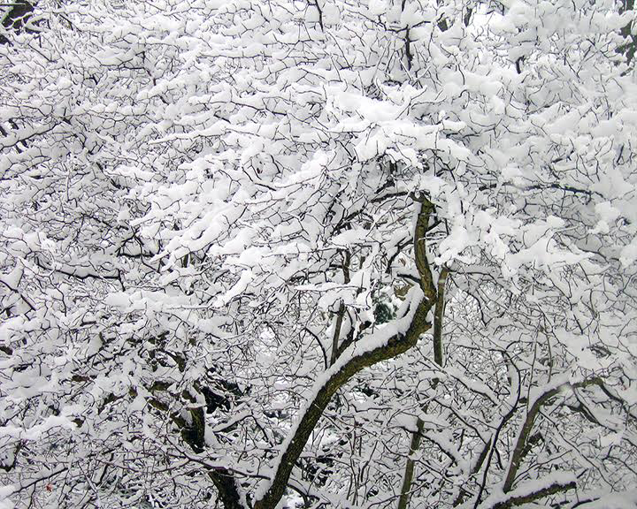 Snow On Branches After the snow storm -  designer trees laced with white greet my  friends at my door. -Gail Diez