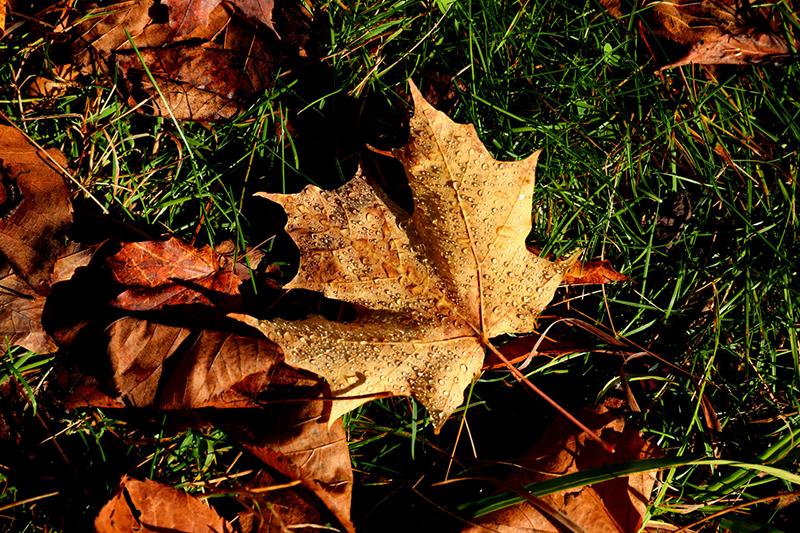 Dewdrops on leaf, Jay Cooke State Park, Minnesota